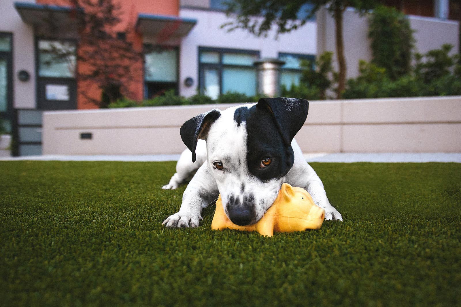 Puppy laying on grass looking at the camera with toy in mouth